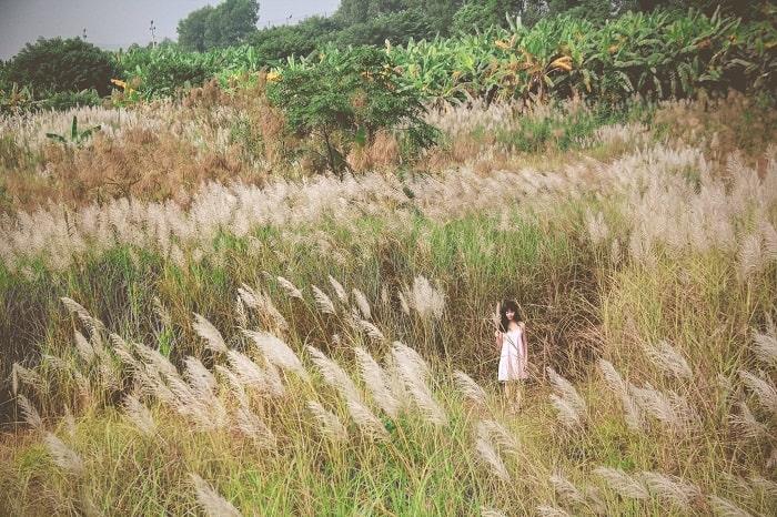 Reed flower season at Ngoc Thuy reed dyke