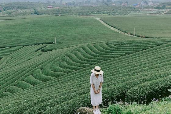Phú Thọ cũng có đồi chè Long Sơn đẹp mộng mơ như thế này!