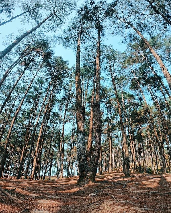 Rừng thông Yên Minh – Lạc vào vùng đất của những kẻ mộng mơ