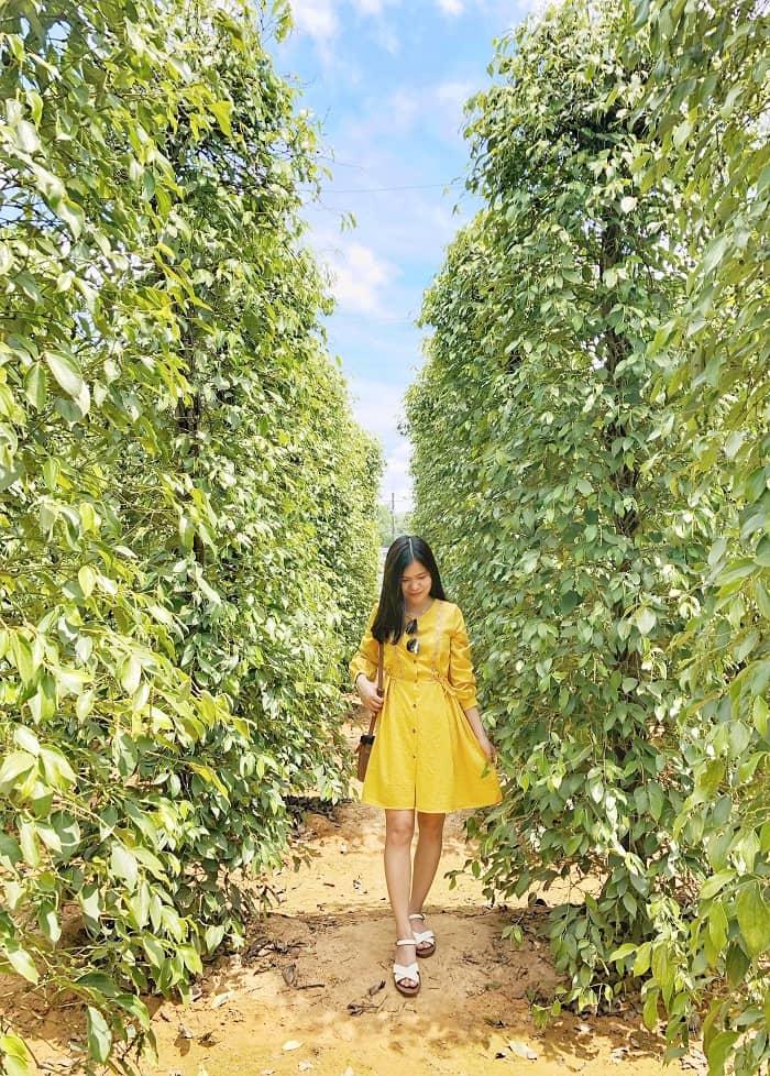 Vườn tiêu Phú Quốc - 'mỏ vàng đen' của hòn đảo ngọc