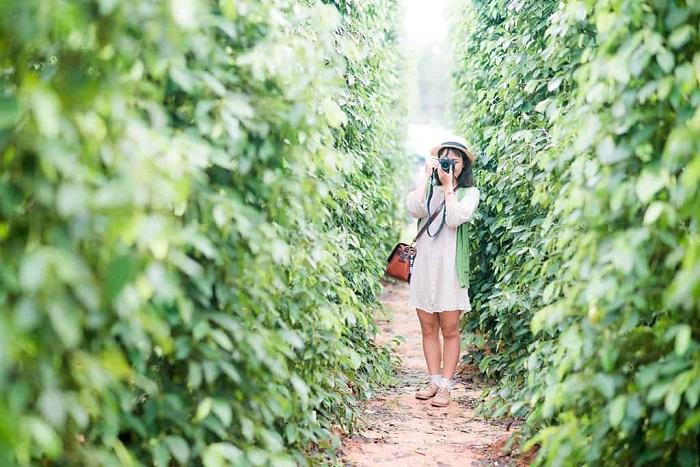 Vườn tiêu Phú Quốc - điểm đến với vô vàn điều thú vị
