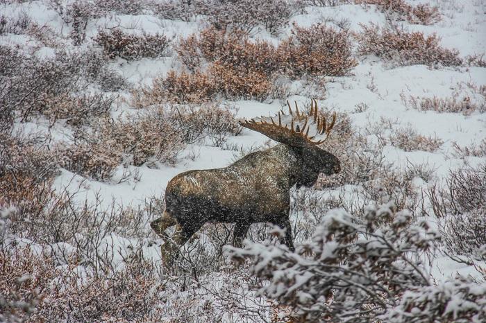 Động vật hoang dã của Alaska - Kinh nghiệm du lịch Alaska