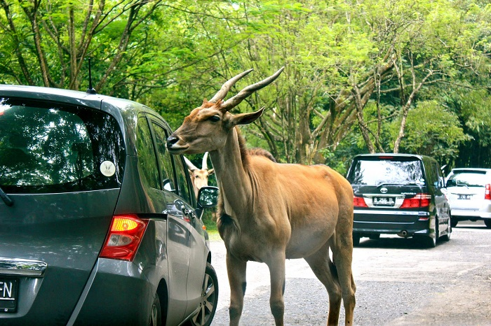 Taman Safari - Địa điểm du lịch ở Jakarta