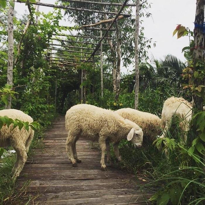 Kinh nghiệm đi 5Ku Farm Sài Gòn- nuôi cừu