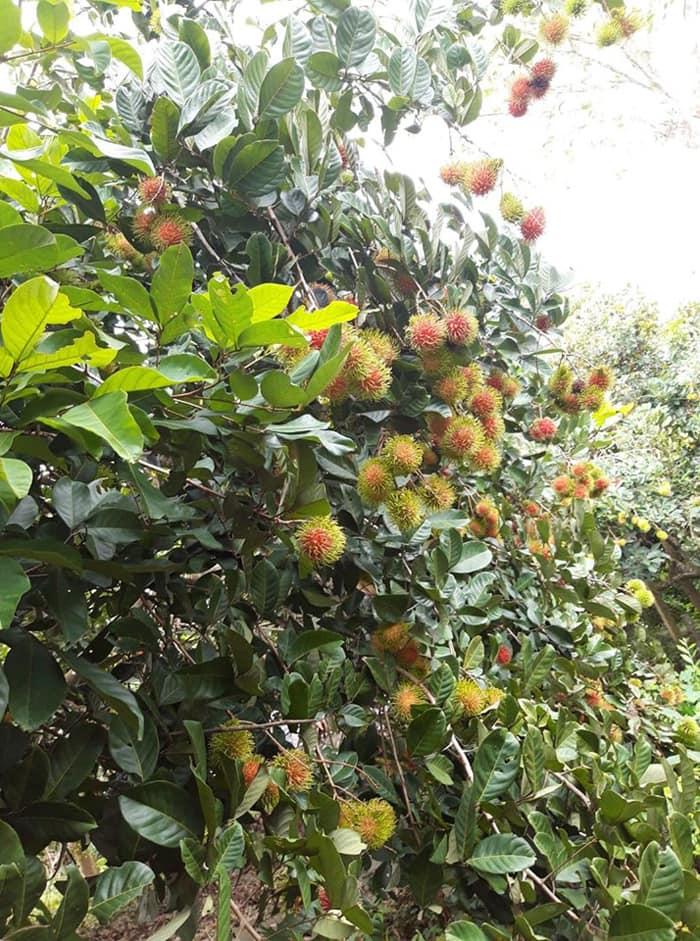 Du ngoạn khu du lịch vườn Ba Ngói - Vườn chôm chôm