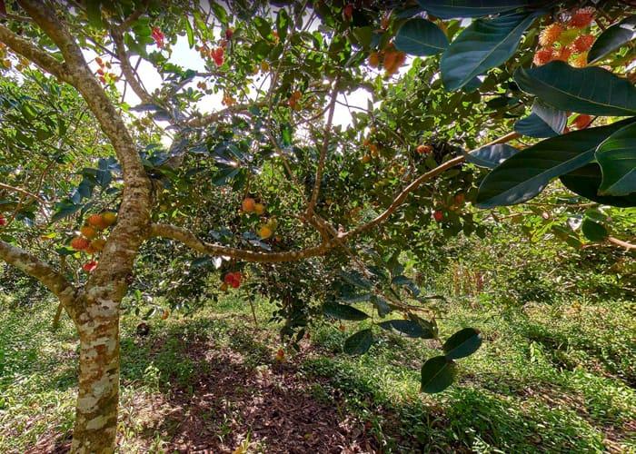 Về cồn Phú Đa - Vườn trái cây