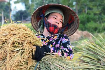 Lên Yên bái, thưởng thức gạo Séng Cù Mường Lò