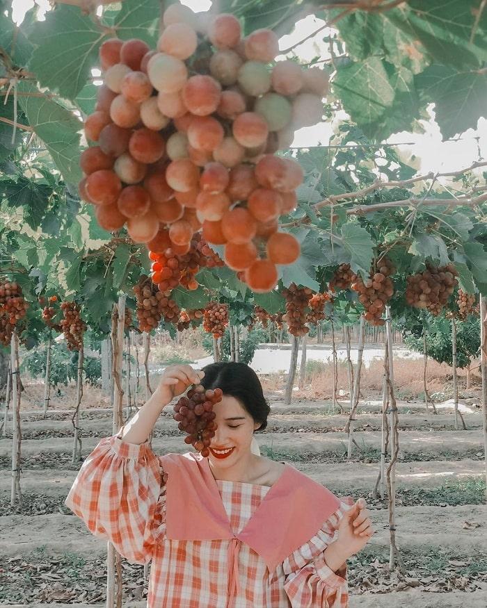 Tham quan vườn nho Ninh Thuận mùa nho chín