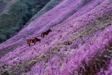Tím lịm sắc hoa Chi Pâu trên đỉnh Tà Chì Nhù