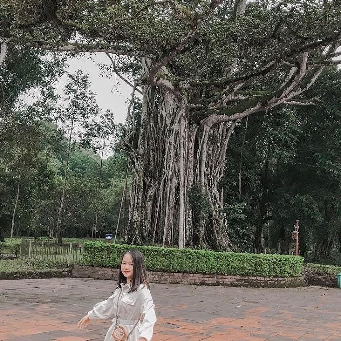 cây Đa Thị - di sản quý giá tại khu di tích Lam Kinh