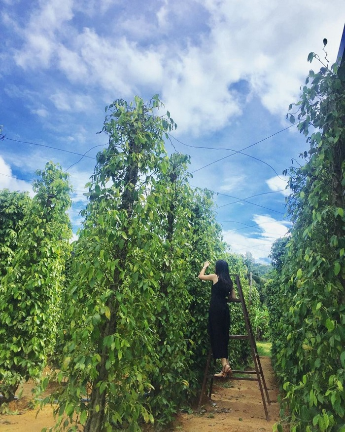 Eco-tourism area in Phu Quoc - pepper garden
