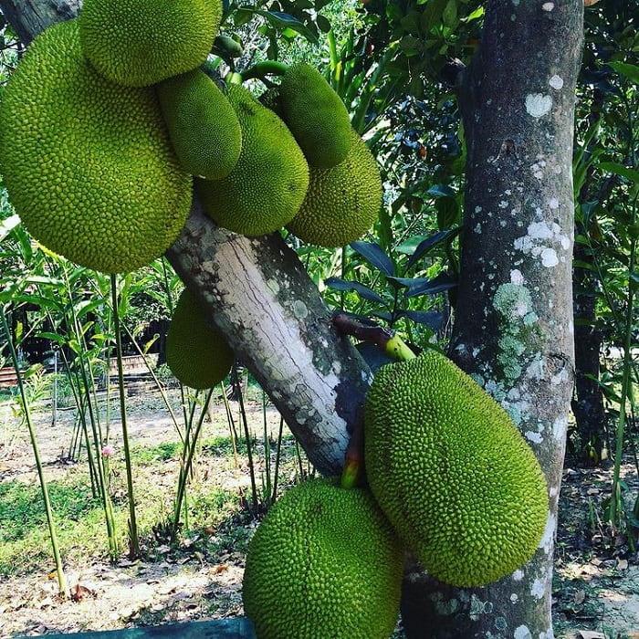 Fruit garden in Nhan Tam eco-zone