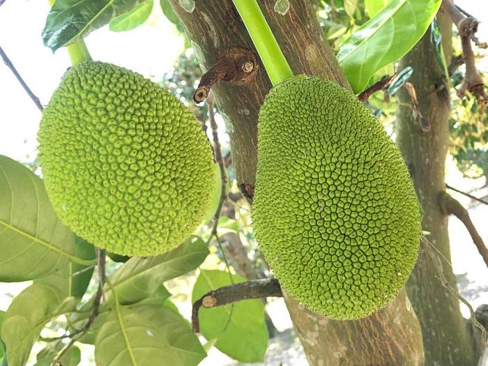 Go Chua Tay Ninh fruit garden - Bau Don fruit garden