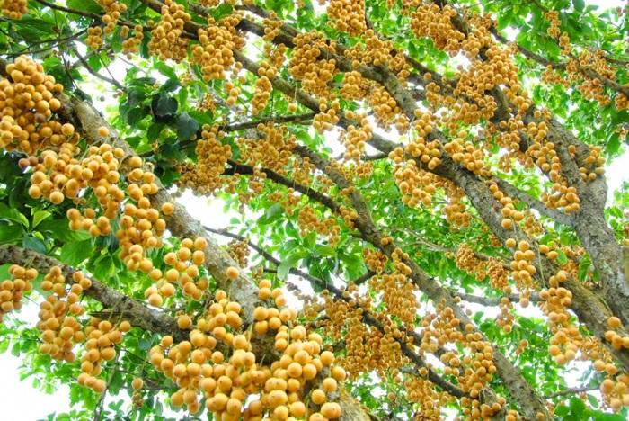 Go Chua Tay Ninh fruit garden - Trang Bang fruit garden