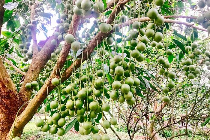 vườn trái cây Vàm Xáng Cần Thơ - thời điểm nào cũng đẹp