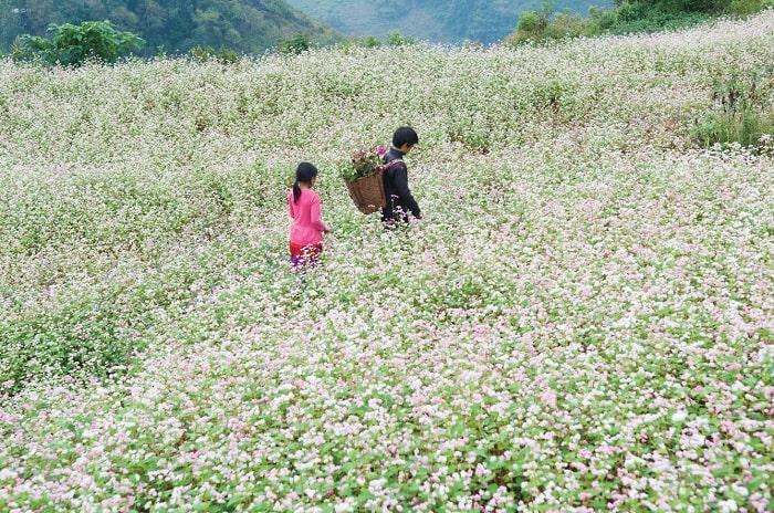 Các Địa Điểm Ngắm Hoa Tam Giác Mạch Hà Giang Chuẩn Nhất Dành Cho Phượt Thủ
