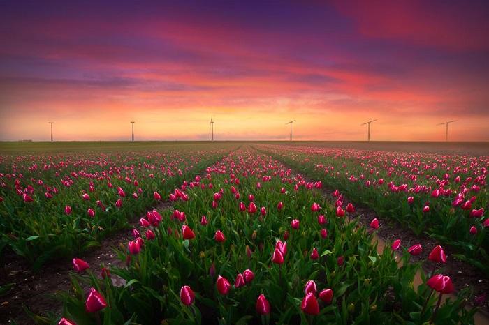 Địa điểm ngắm hoa tulip ở Hà Lan - cánh đồng hoa tulip