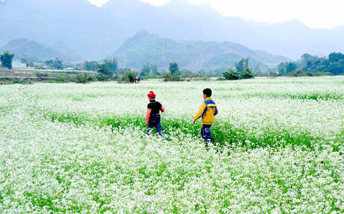 du lịch Mộc Châu tháng 11 ngắm hoa cải trắng
