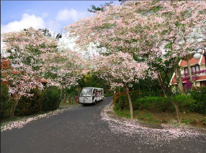 Cherry blossoms - a beautiful moment at Loc An Vung Tau beach