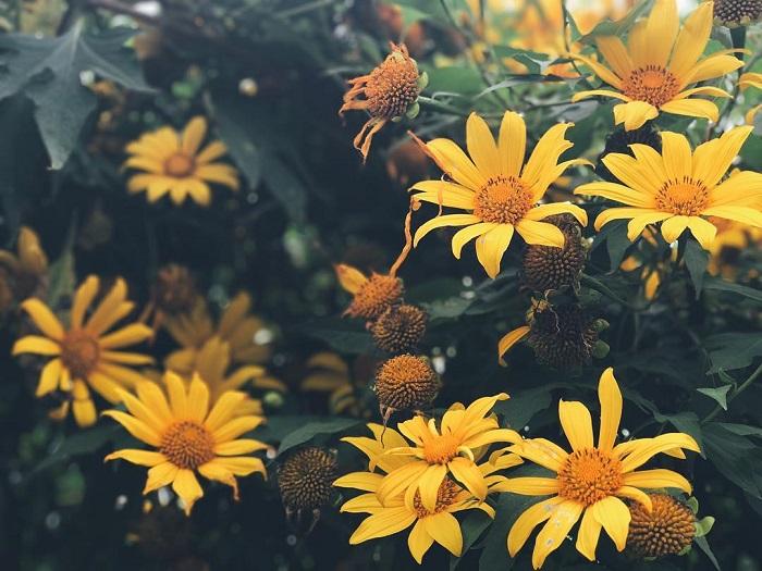 mùa hoa dã quỳ Đà Lạt - loài hoa dại rực rỡ