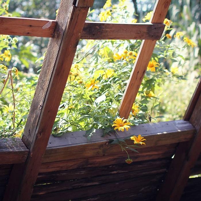 mùa hoa dã quỳ Đà Lạt - hoa mọc bên hiên nhà