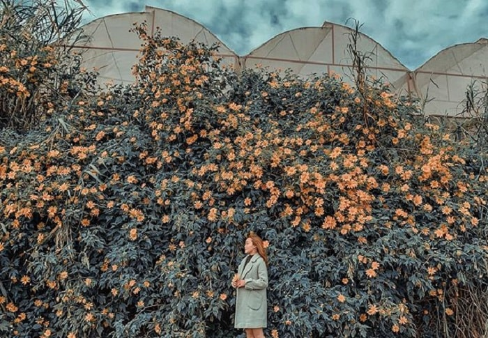 mùa hoa dã quỳ Đà Lạt - hoa mọc thành từng bụi