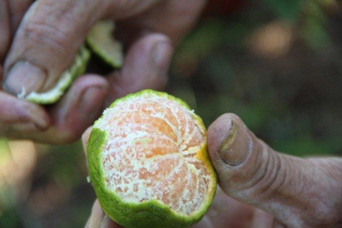 quýt hương cần  đặc sản mùa thu xứ Huế