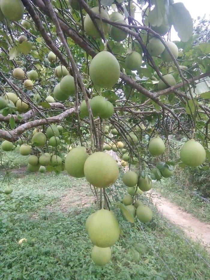 thanh trà đặc sản mùa thu xứ Huế