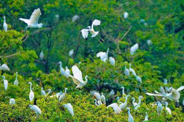 Vườn cò Tân Long - điểm ngắm chim cò độc đáoở Sóc Trăng