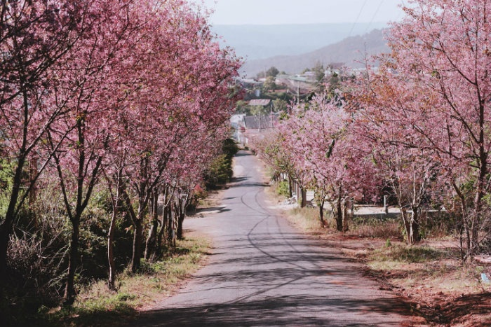 Save now a series of places to watch the cherry blossoms of Da Lat - Da Quy slope