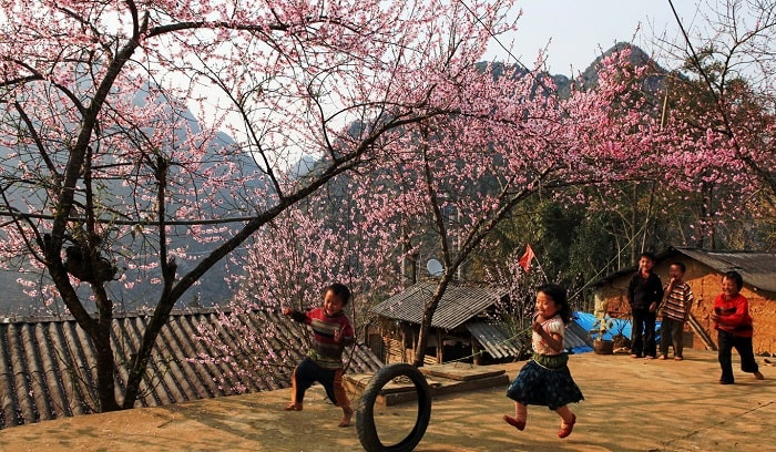 See the cherry blossoms - Experience when traveling to Sapa in December