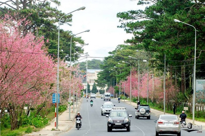 Save now a series of places to see the cherry blossoms of Da Lat - Tran Hung Dao street