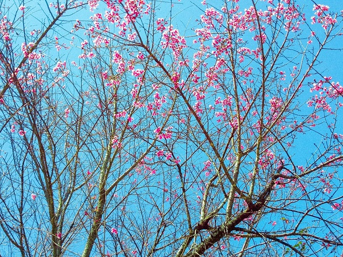 the place to see the cherry blossoms of Da Lat - Tran Hung Dao street