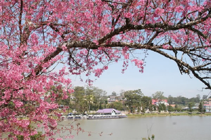 place to see cherry blossoms in Dalat - Xuan Huong lake