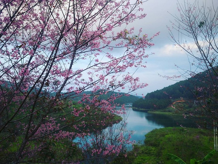 Save now a series of places to watch the cherry blossoms of Dalat - Tuyen Lam lake