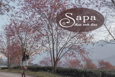 Tháng 12 này về Sapa ngắm hoa mai anh đào nở
