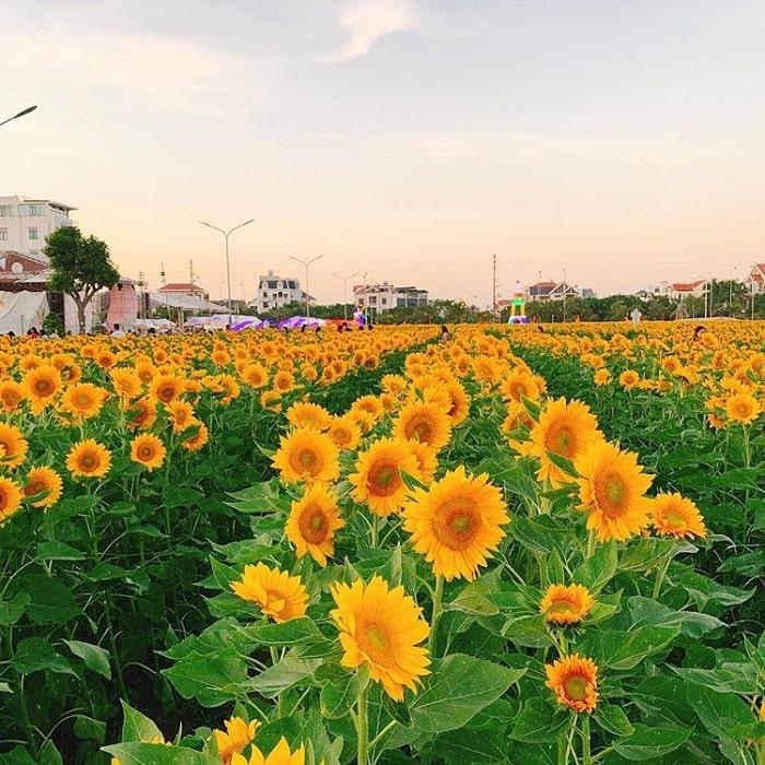 Sunflower garden in Hai Duong - urban embellishment project