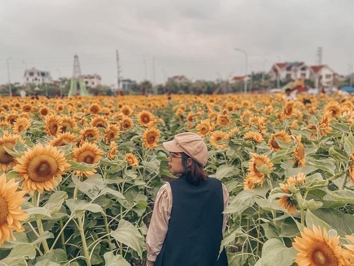 Sunflower garden in Hai Duong - splendid scenery