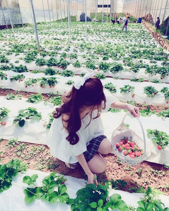 Lam Dong specialties bought as gifts - strawberry garden in Da Lat