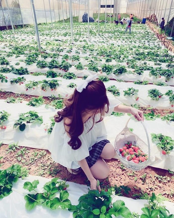 đặc sản Lâm Đồng mua làm quà - vườn dâu tây Đà Lạt