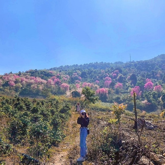 Tomorrow season, cherry blossoms in Da Lat - behind Langbiang hill