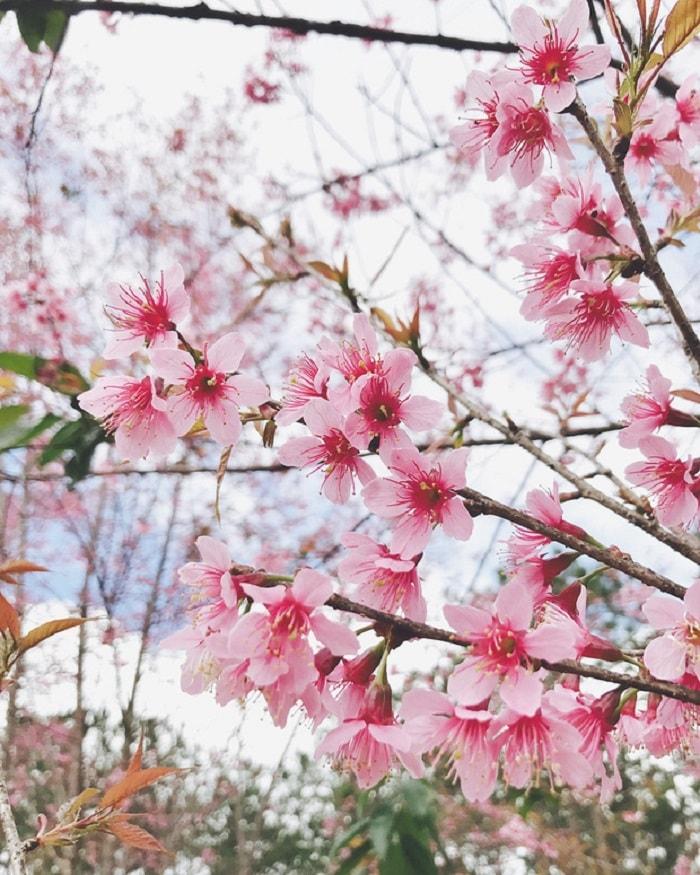 Tomorrow season, cherry blossoms in Da Lat will be full of flavor