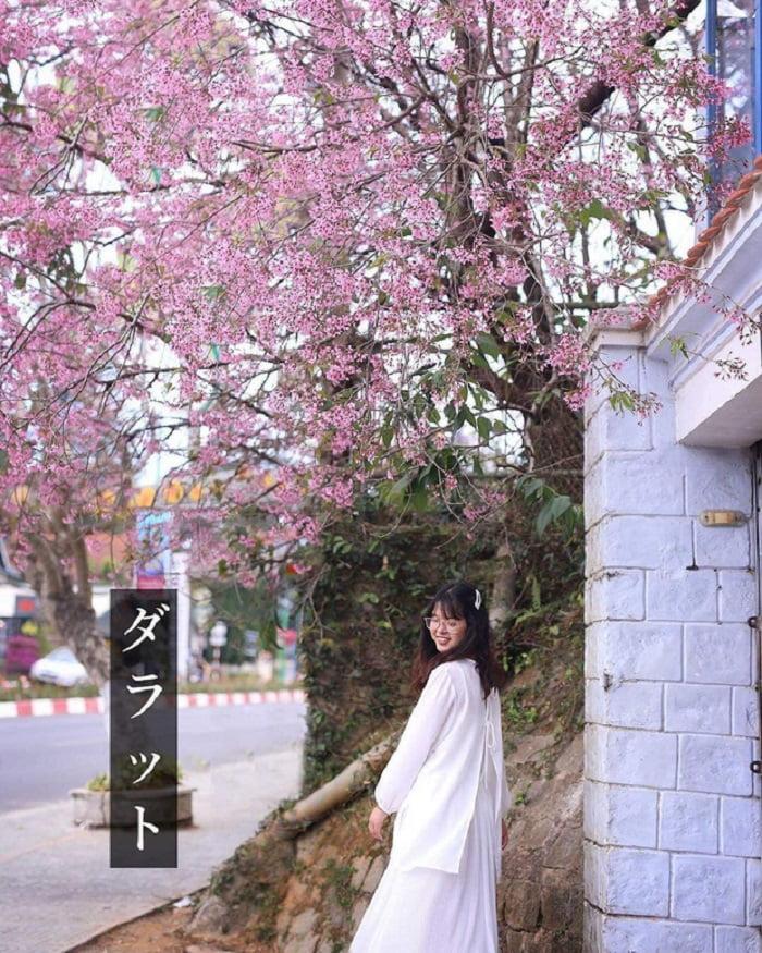 Tomorrow season, Da Lat cherry blossoms everywhere
