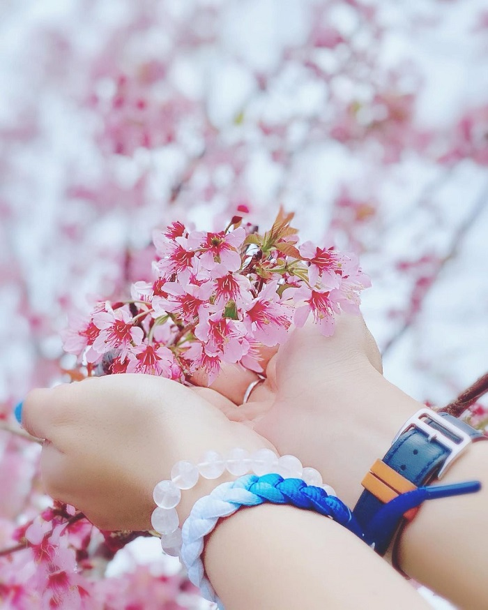 Tomorrow season, Da Lat cherry blossoms are beautiful and fragile