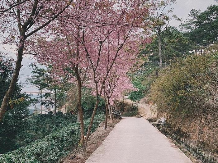 Tomorrow season, cherry blossoms are Da Lat - Trai Mat Street