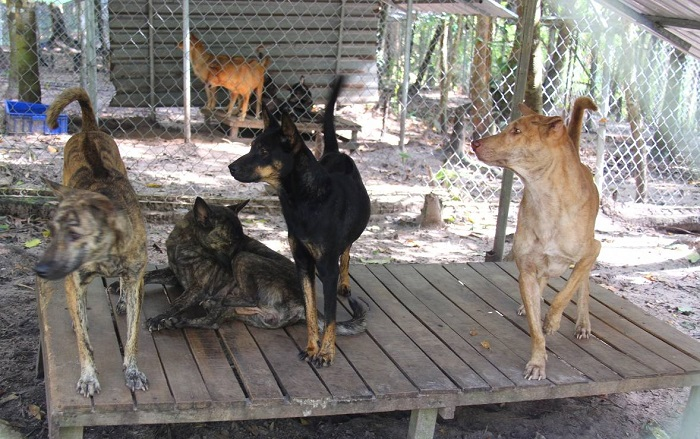 Visiting Phu Quoc Ridgeback Dog Farm - learn about loyal dogs