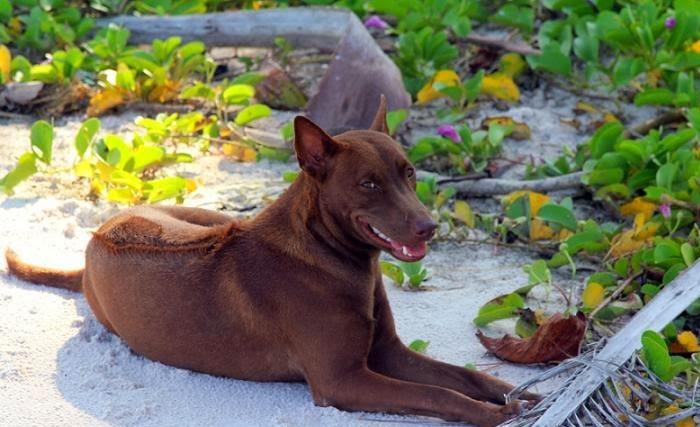 Visiting Phu Quoc Ridgeback Dog Farm - a smart dog breed in Vietnam