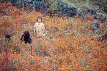 Xao xuyến mùa hoa cúc cam Hà Giang nở rực cả góc trời