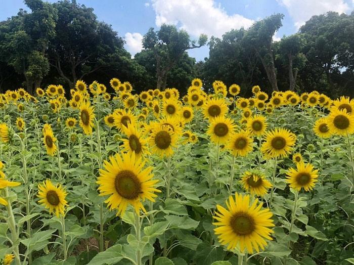 Sunflower garden in Long Bien garden