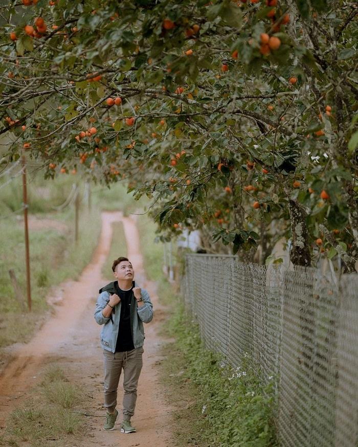 Mộc Trà Farm - Địa chỉ mua hồng treo ở Đà Lạt uy tín, giá tốt